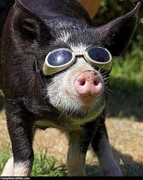 Funny-Pigs-Pictures-3.jpg